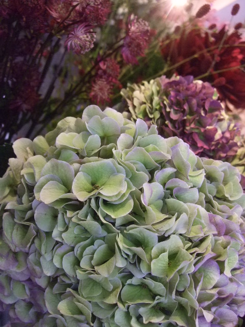 オークリーフ(秋色紫陽花、そしてコスモス)_f0049672_1671012.jpg