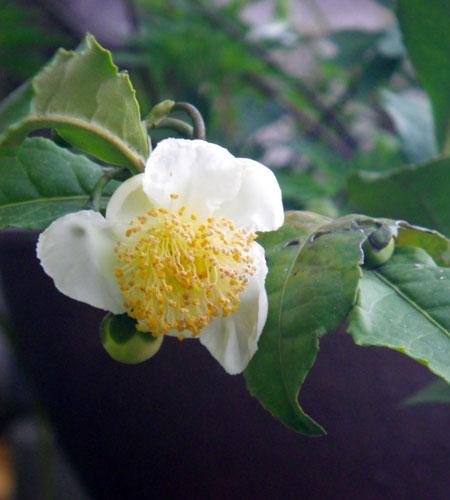 実生のミニシクラメン&コウム お茶の花など_a0136293_17291258.jpg