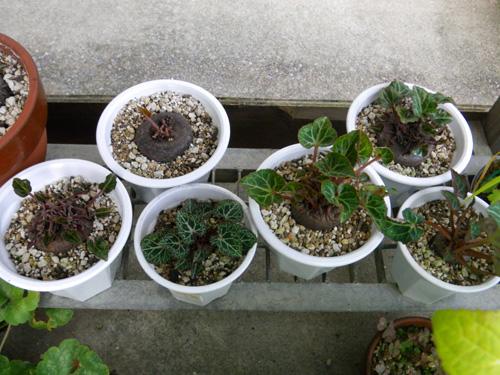 実生のミニシクラメン&コウム お茶の花など_a0136293_17345992.jpg
