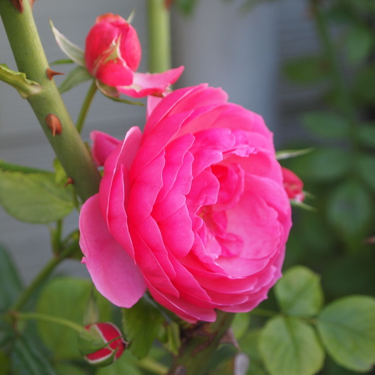 秋のバラ_a0292194_18373943.jpg