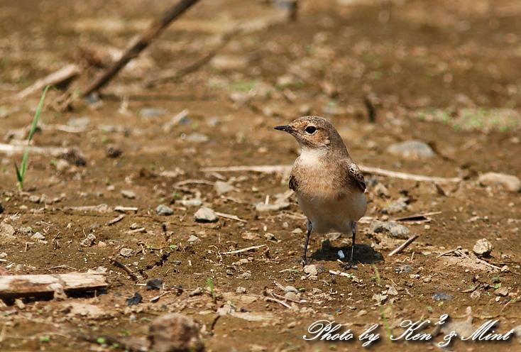 超 珍鳥 「セグロサバクヒタキ」 さん♪_e0218518_19592462.jpg