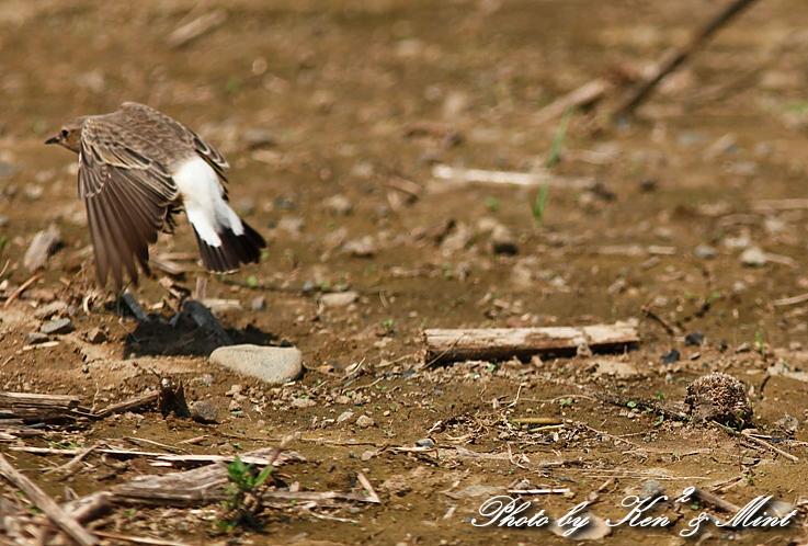 超 珍鳥 「セグロサバクヒタキ」 さん♪_e0218518_19593781.jpg