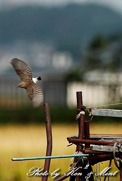 超 珍鳥 「セグロサバクヒタキ」 さん♪_e0218518_2003431.jpg