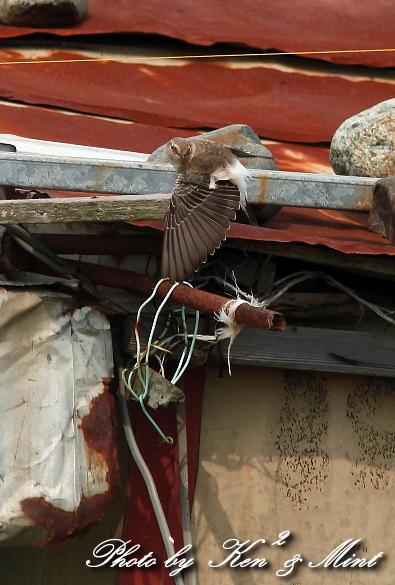 超 珍鳥 「セグロサバクヒタキ」 さん♪_e0218518_2004981.jpg