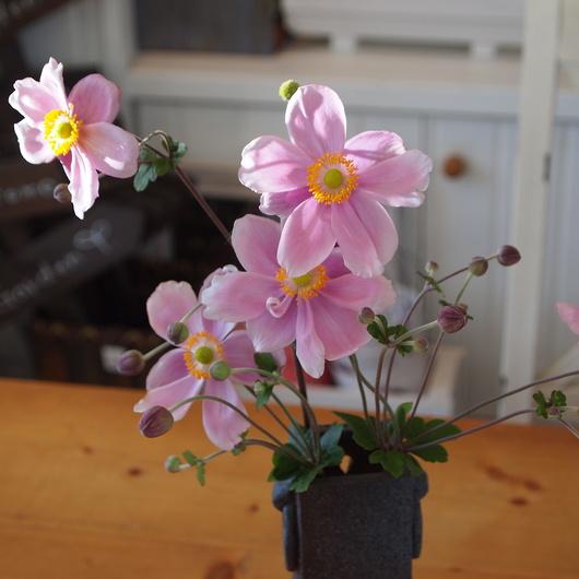 秋のお花、秋明菊_a0292194_152359.jpg