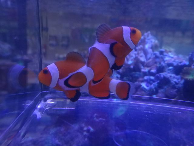 131002 海水魚・サンゴ・水草・淡水魚_f0189122_1235441.jpg