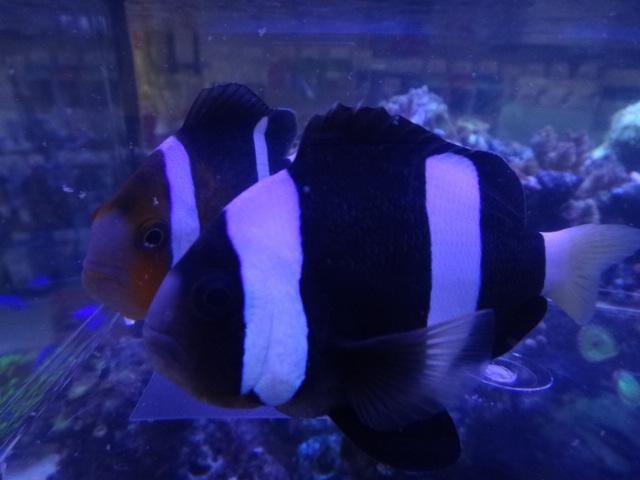 131002 海水魚・サンゴ・水草・淡水魚_f0189122_1237233.jpg