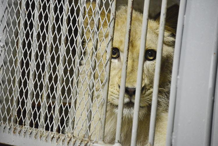 2013.8.14 伊豆アニマルキングダム☆ホワイトライオンのパール【White Lion】_f0250322_2105352.jpg