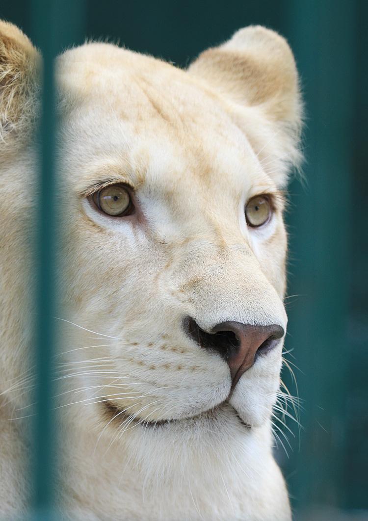 2013.8.31 東北サファリ☆ホワイトライオンのルーチェ 【White lion】_f0250322_21401168.jpg