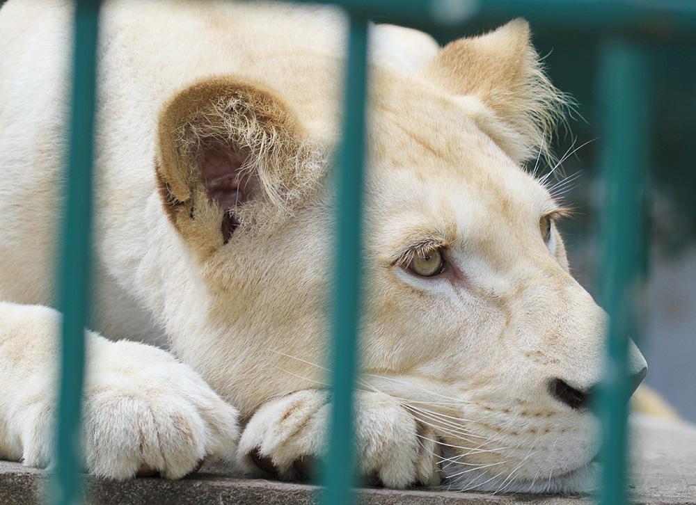 2013.8.31 東北サファリ☆ホワイトライオンのルーチェ 【White lion】_f0250322_21401248.jpg