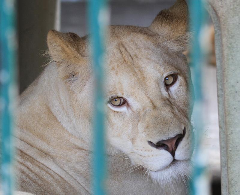 2013.8.31 東北サファリ☆ホワイトライオンのルーチェ 【White lion】_f0250322_2140990.jpg