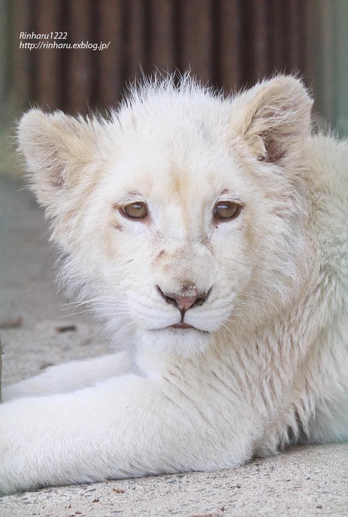 2013.6.16 東北サファリ☆ホワイトライオンのヒマちゃん 【White Lion】_f0250322_2173153.jpg