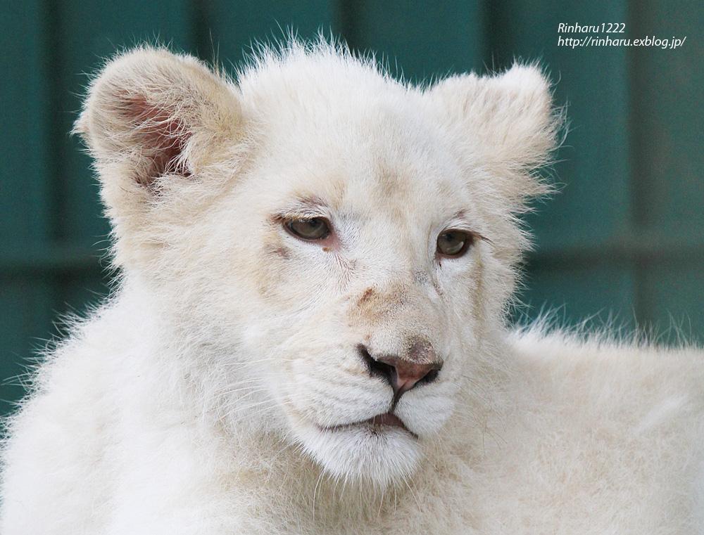 2013.6.16 東北サファリ☆ホワイトライオンのヒマちゃん 【White Lion】_f0250322_2173553.jpg