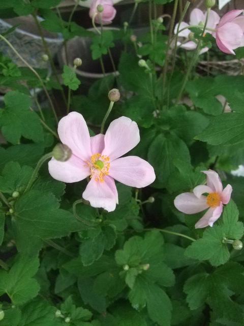 オークリーフ(桃色の秋明菊)_f0049672_1759037.jpg