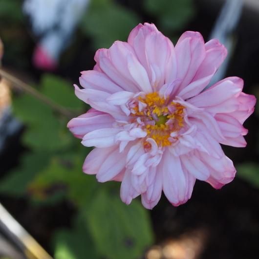 秋のお花、秋明菊_a0292194_22124868.jpg