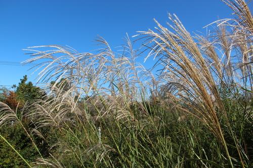 アトリエの芝置屋根のススキ_e0054299_1646296.jpg
