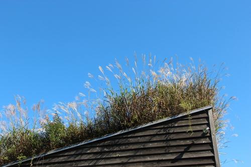 アトリエの芝置屋根のススキ_e0054299_16472865.jpg