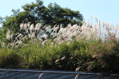 アトリエの芝置屋根のススキ_e0054299_1647618.jpg
