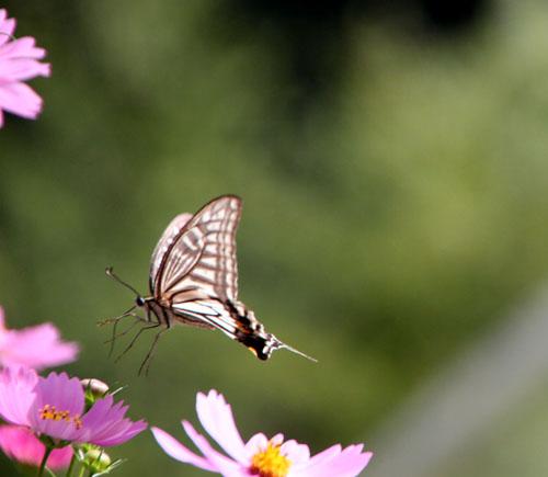 コスモスにアゲハ蝶が来た_e0048413_19351859.jpg