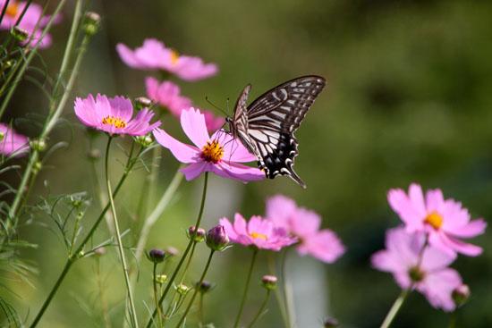 コスモスにアゲハ蝶が来た_e0048413_19353262.jpg