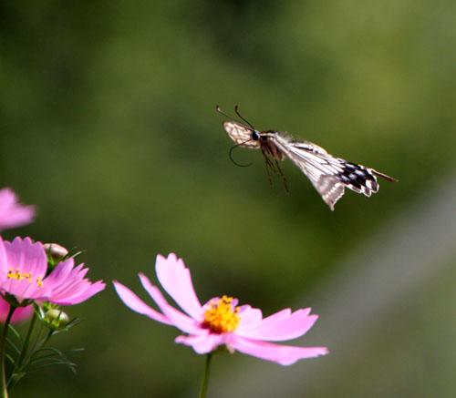 コスモスにアゲハ蝶が来た_e0048413_1935443.jpg
