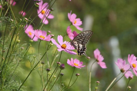 コスモスにアゲハ蝶が来た_e0048413_19354996.jpg