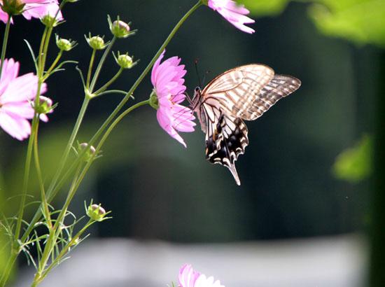 コスモスにアゲハ蝶が来た_e0048413_1936283.jpg