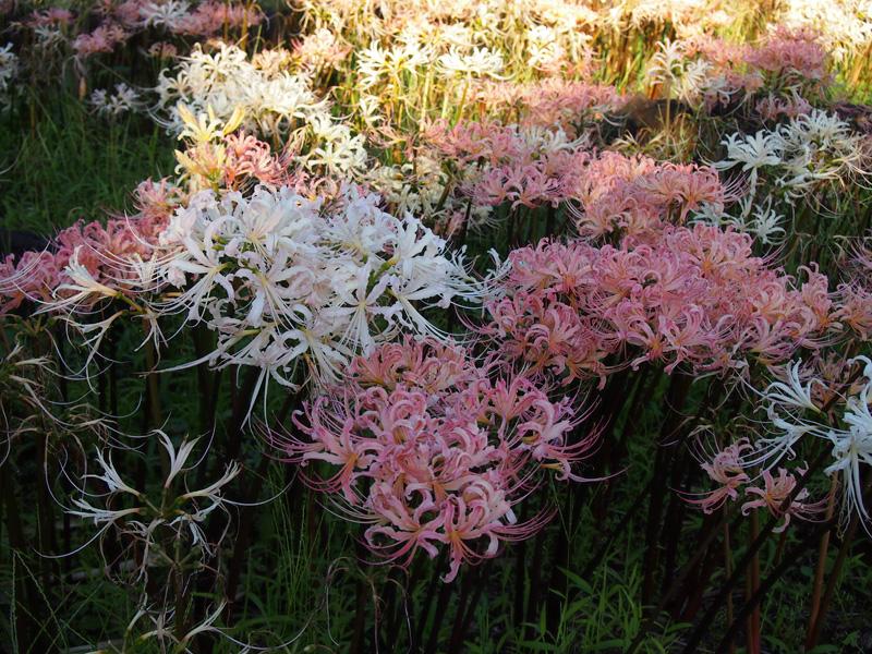 さわやかな晴天の日・植物公園に彼岸花(リコリス)咲いていました!_e0097770_0282081.jpg