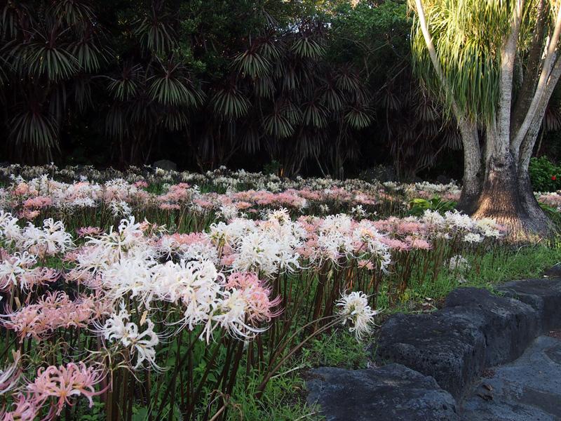 さわやかな晴天の日・植物公園に彼岸花(リコリス)咲いていました!_e0097770_0283116.jpg