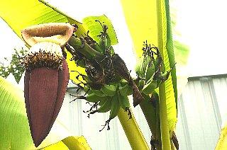 バナナの子供_d0113490_222653100.jpg