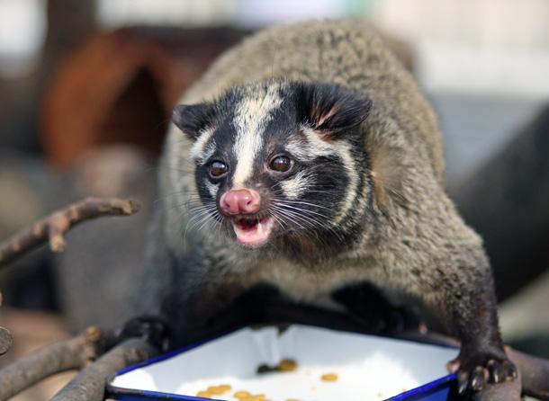 餌を食べるハクビシン