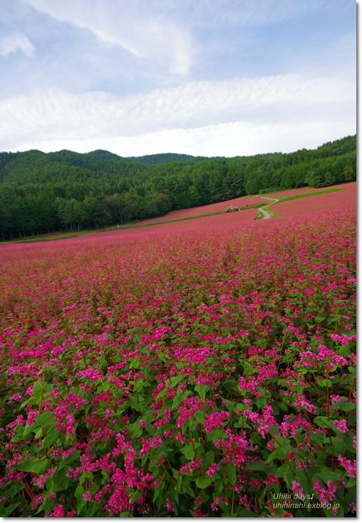 ピンクの絨毯♪  赤そばの里 _f0179404_7145997.jpg