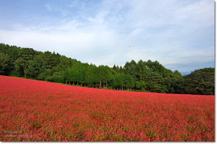 ピンクの絨毯♪  赤そばの里 _f0179404_7152652.jpg