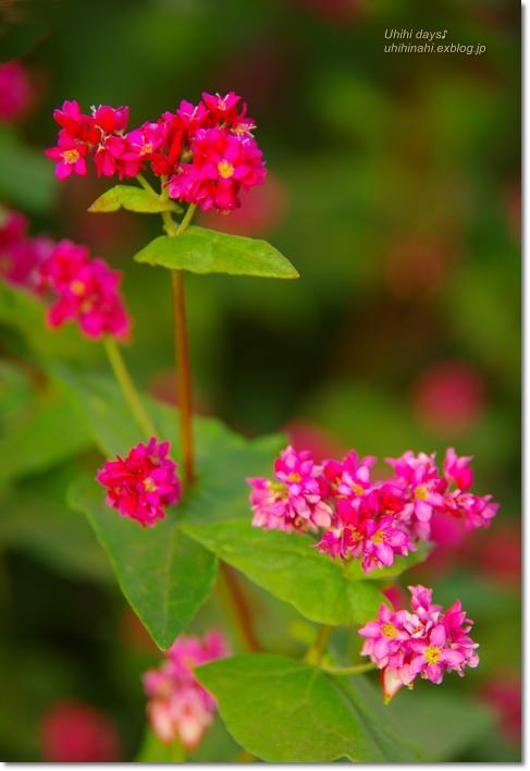 ピンクの絨毯♪  赤そばの里 _f0179404_7155168.jpg