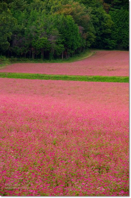 ピンクの絨毯♪  赤そばの里 _f0179404_7163172.jpg