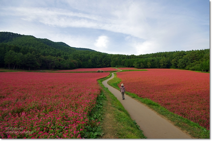 ピンクの絨毯♪  赤そばの里 _f0179404_7174654.jpg