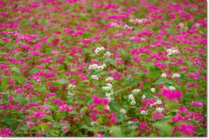 ピンクの絨毯♪  赤そばの里 _f0179404_717665.jpg