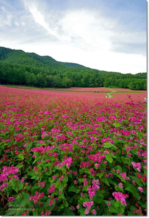 ピンクの絨毯♪  赤そばの里 _f0179404_7181534.jpg