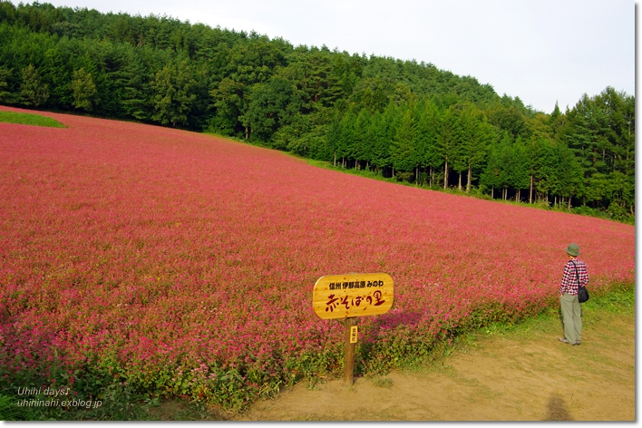 ピンクの絨毯♪  赤そばの里 _f0179404_7183520.jpg