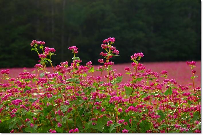 ピンクの絨毯♪  赤そばの里 _f0179404_718492.jpg