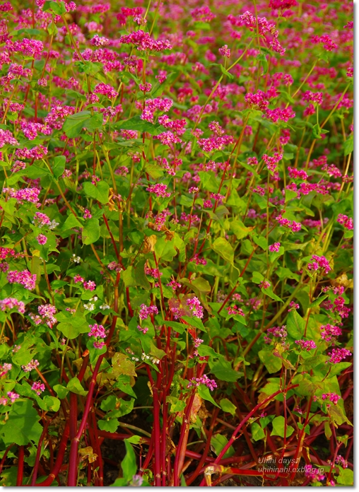 ピンクの絨毯♪  赤そばの里 _f0179404_719311.jpg