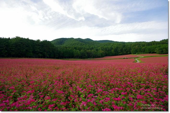 ピンクの絨毯♪  赤そばの里 _f0179404_7201726.jpg