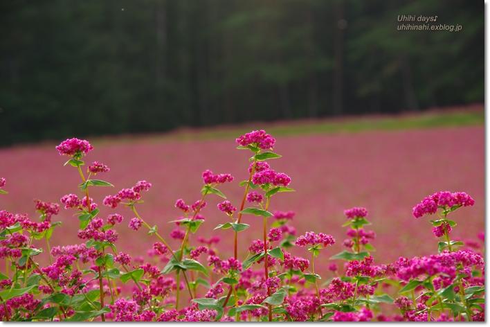ピンクの絨毯♪  赤そばの里 _f0179404_7202814.jpg