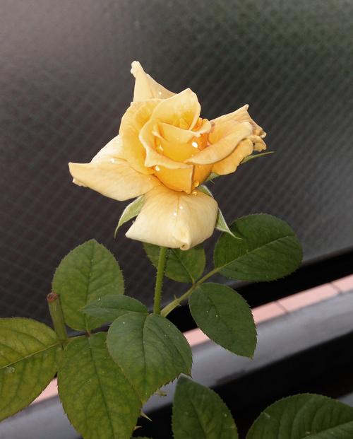 幸福の黄色いバラ_d0290407_1610471.jpg