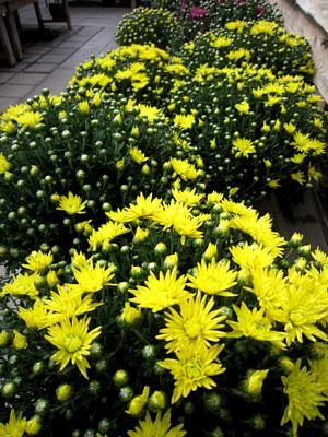 秋冬の鉢花と花苗_c0141652_10395780.jpg