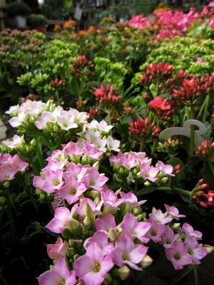 秋冬の鉢花と花苗_c0141652_10403128.jpg