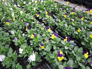 秋冬の鉢花と花苗_c0141652_10404188.jpg