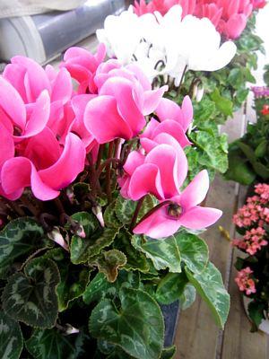 秋冬の鉢花と花苗_c0141652_1040792.jpg