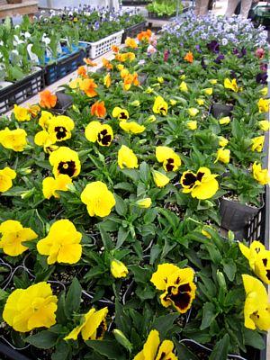 秋冬の鉢花と花苗_c0141652_1043985.jpg