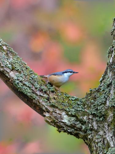 秋の小鳥たち(2)ゴジュウカラ_a0204089_193409.jpg